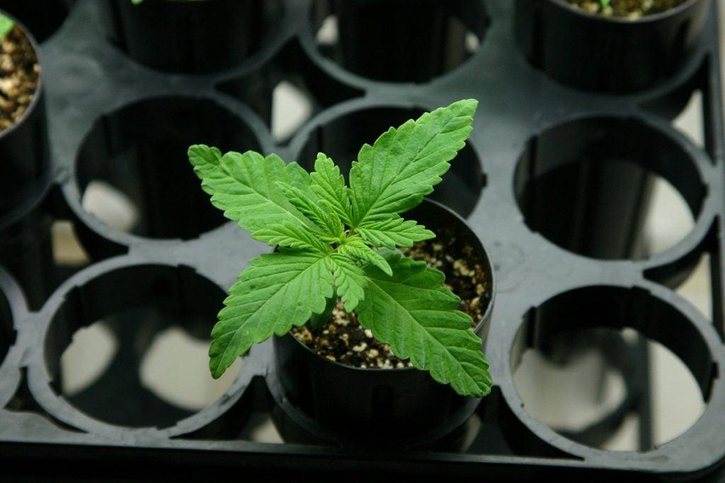 buy-cannabis-seeds-in-gresham