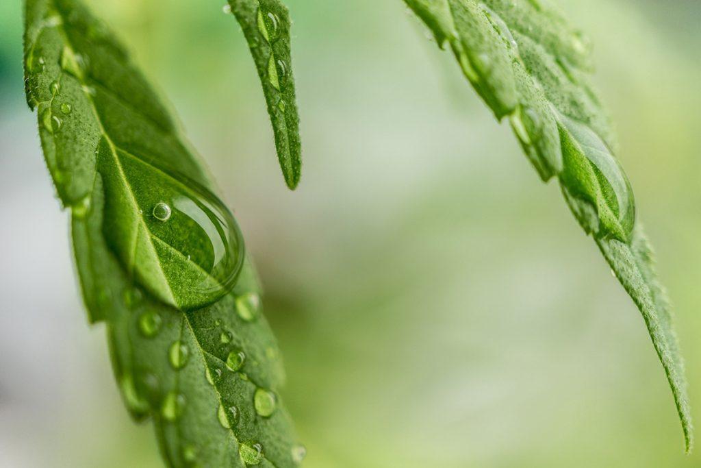 buy-cannabis-seeds-murfreesboro