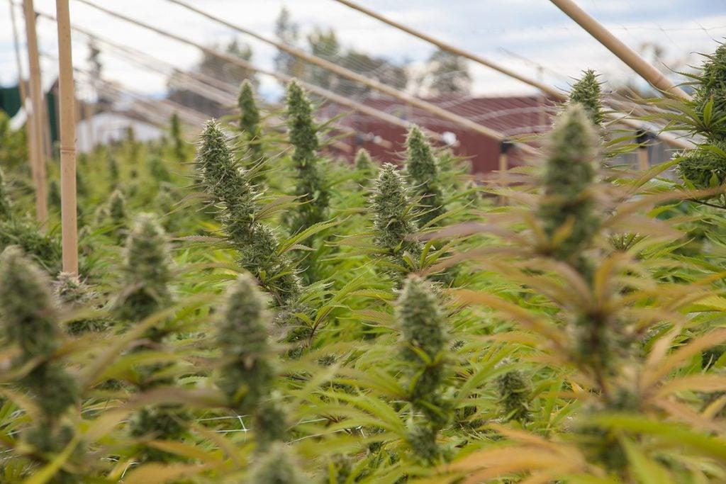 buy-cannabis-seeds-reno