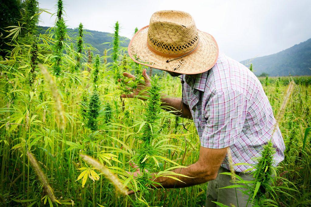 buy-cannabis-seeds-warwick