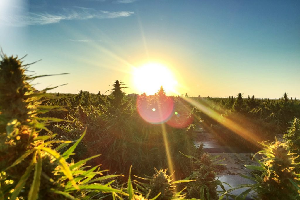 buy-marijuana-seeds-bartlett