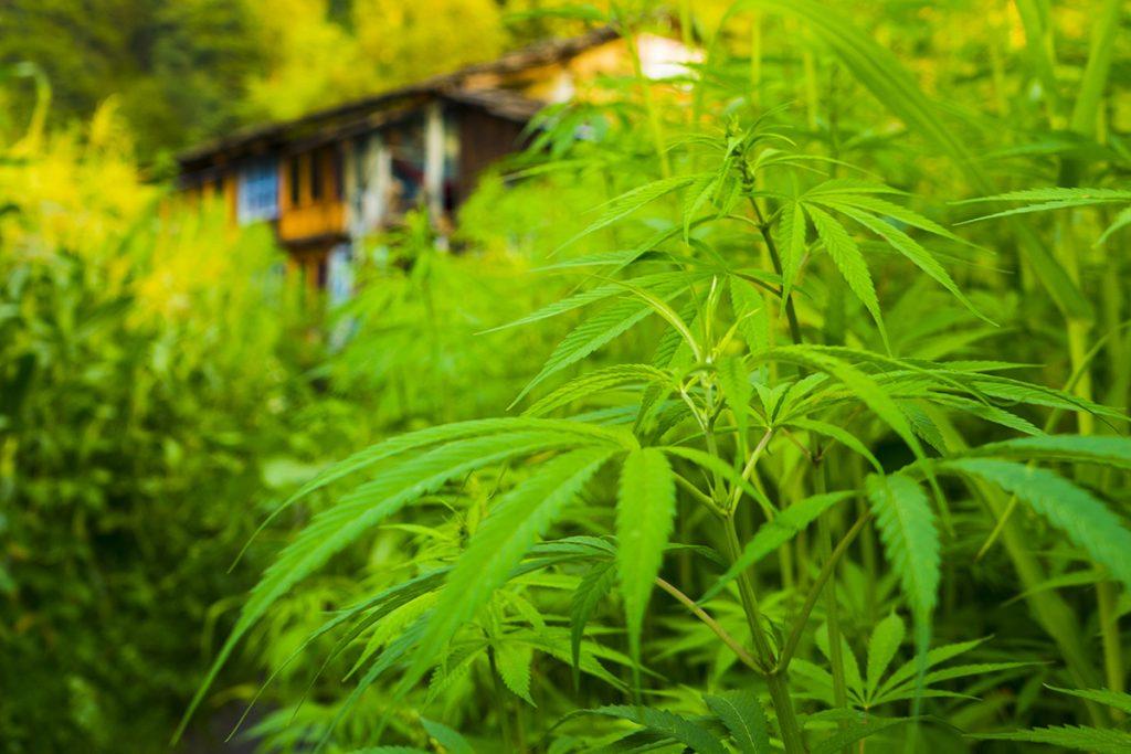 buy-marijuana-seeds-bellevue