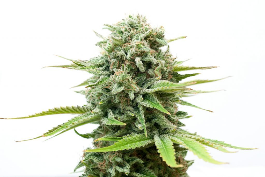 buy-marijuana-seeds-bozeman