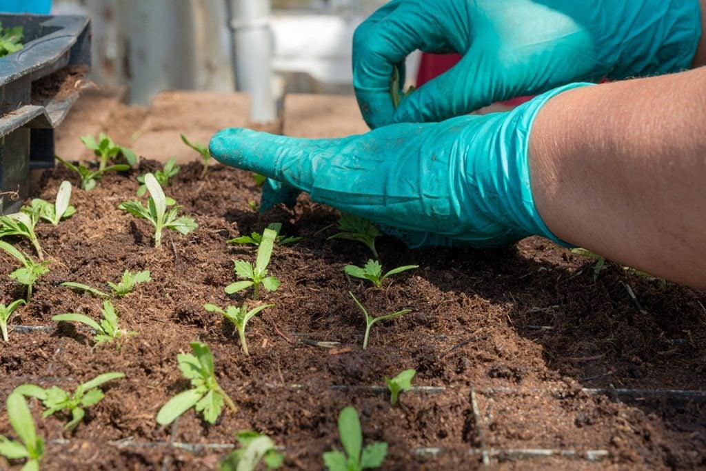 buy-marijuana-seeds-brookings