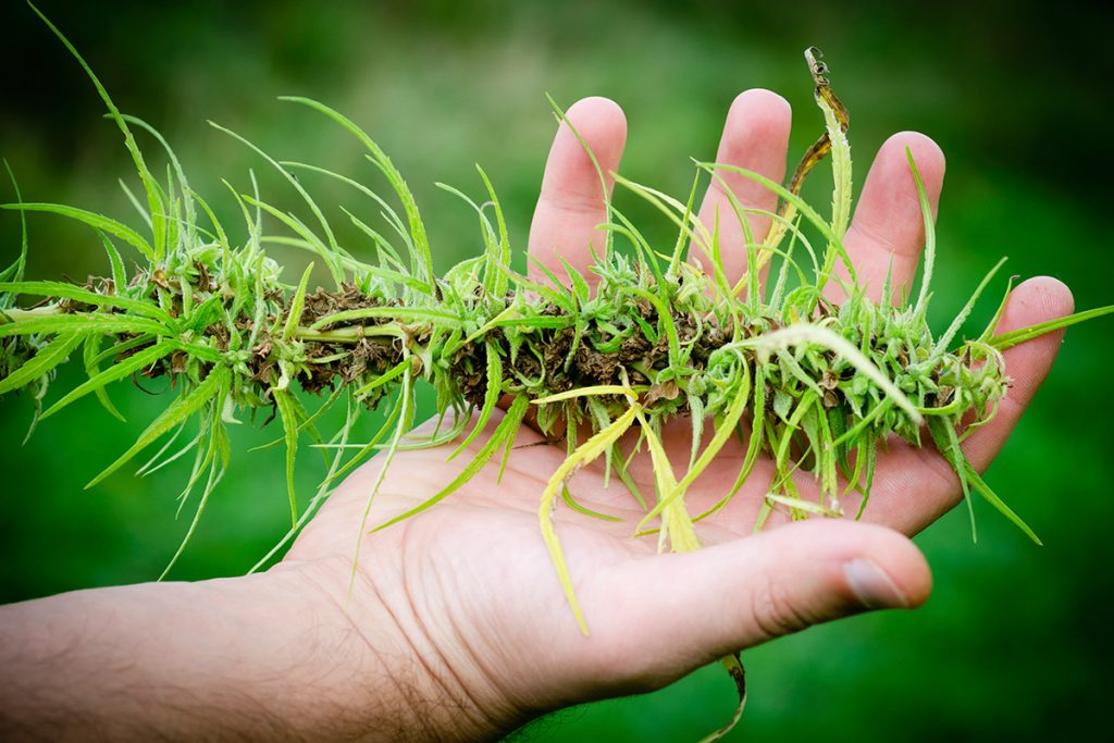 buy-marijuana-seeds-clarksville