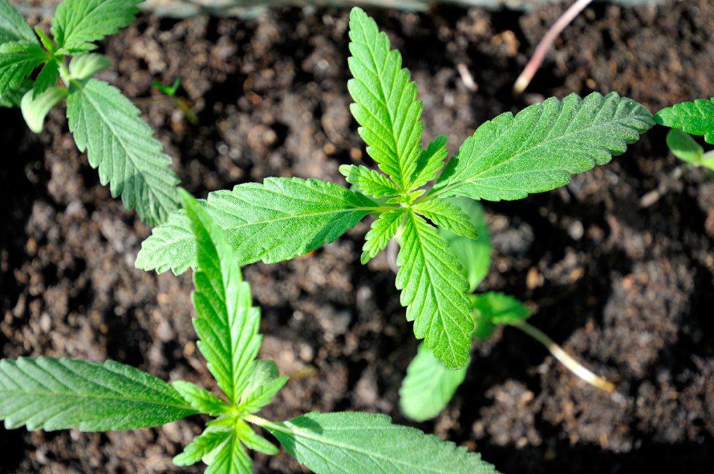 buy-marijuana-seeds-in-grand-forks