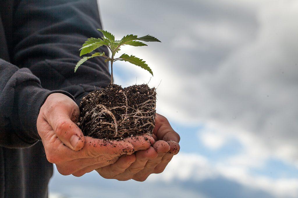 buy-marijuana-seeds-lee's-summit