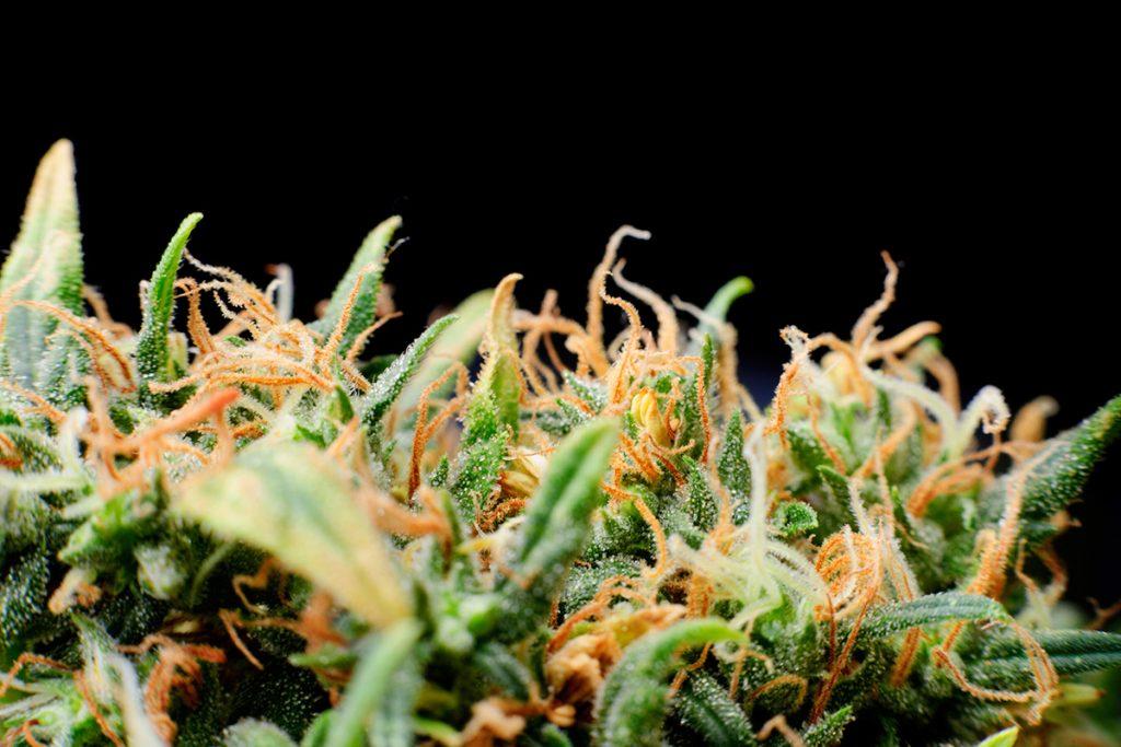 buy-marijuana-seeds-new-york