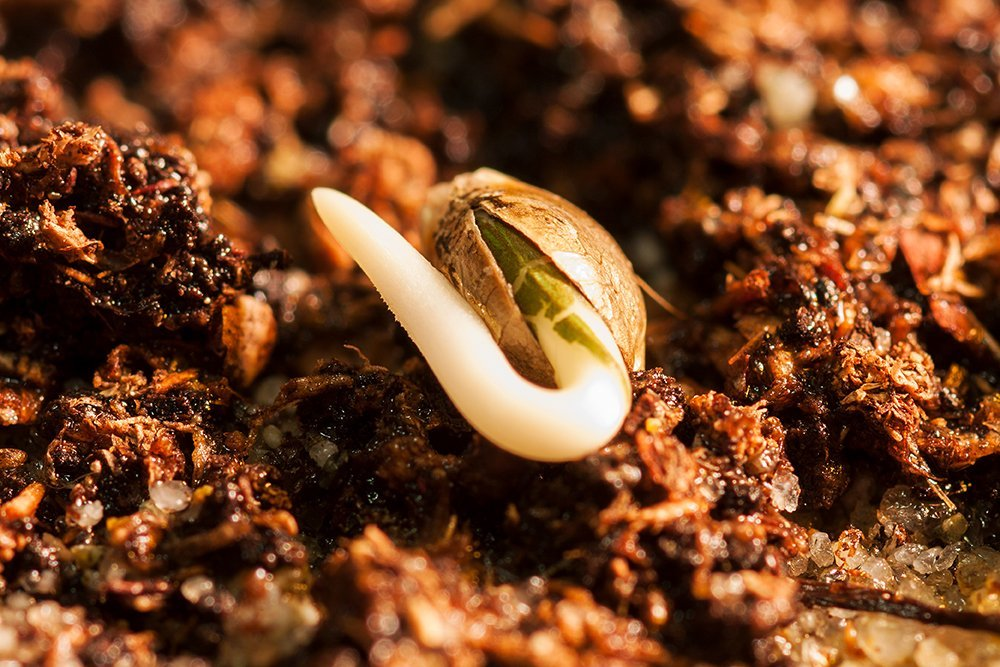 sprouted marijuana seed