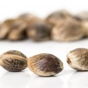 Close up of hemp seeds with other hemp seeds in the white background