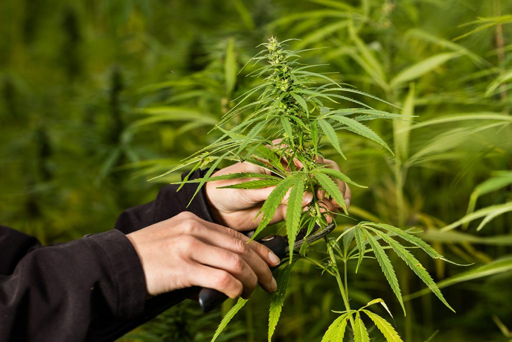 buy-cannabis-seeds-in-provo