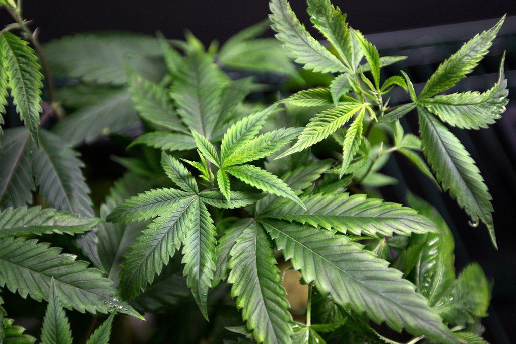 buy-cannabis-seeds-in-regina