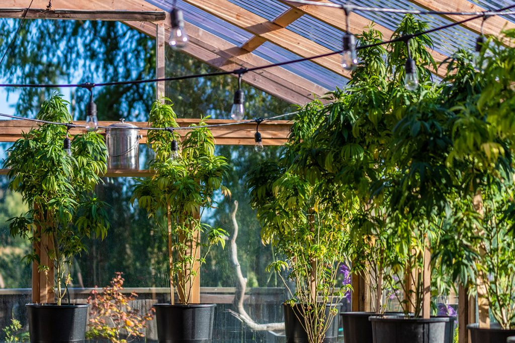 buy-cannabis-seeds-in-saskatoon