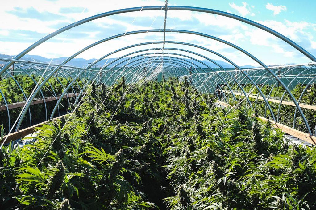 buy-cannabis-seeds-kingston