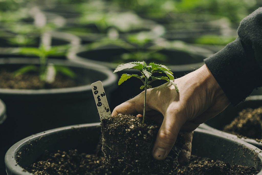 buy-cannabis-seeds-sudbury