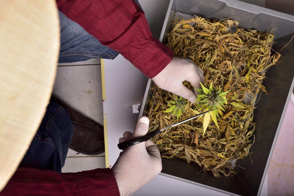 buy-marijuana-seeds-chilliwack