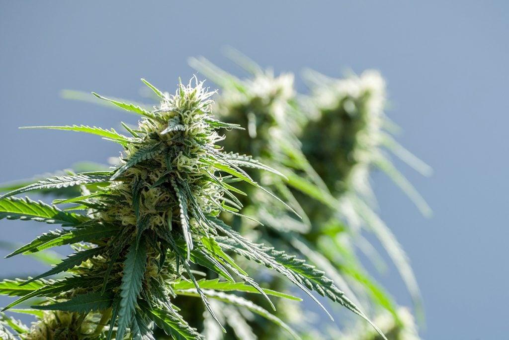 buy-marijuana-seeds-gatineau