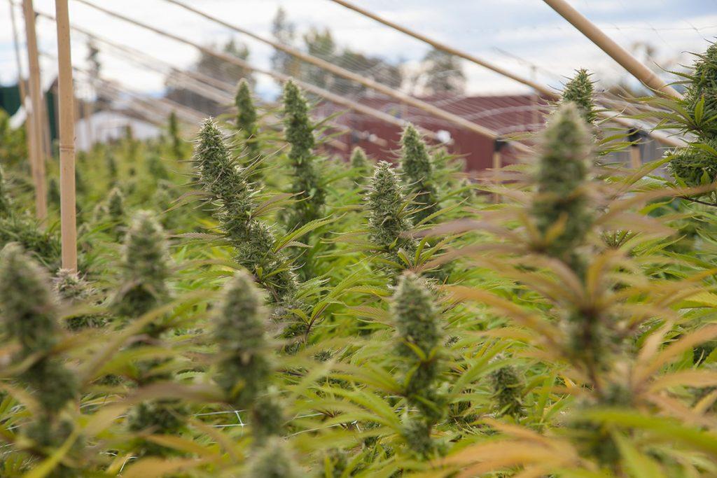 buy-marijuana-seeds-layton