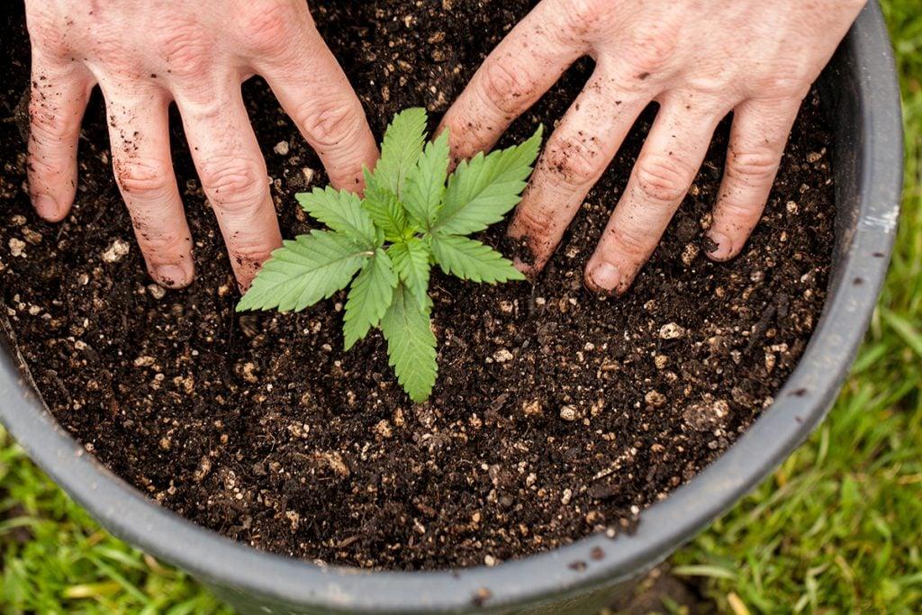 buy-marijuana-seeds-london