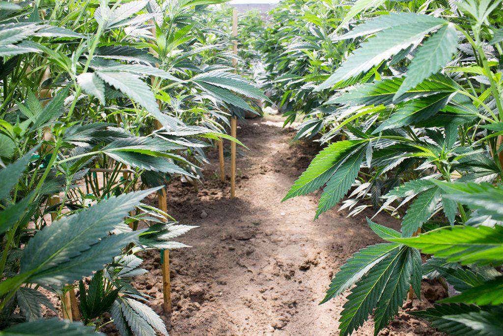 buy-marijuana-seeds-loredo