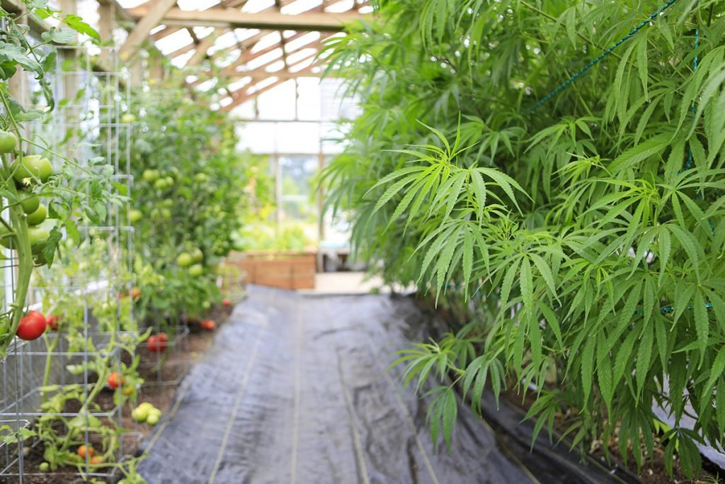 buy-marijuana-seeds-repentigny