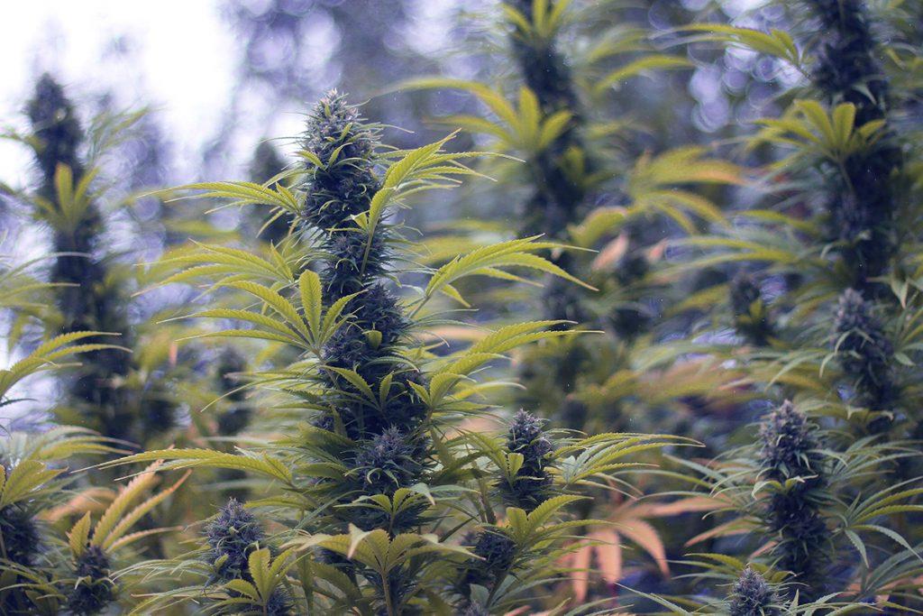 buy-marijuana-seeds-st-george