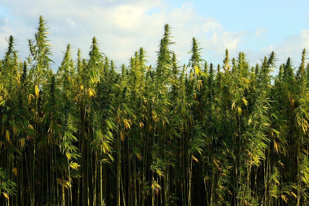 buy-marijuana-seeds-sudbury