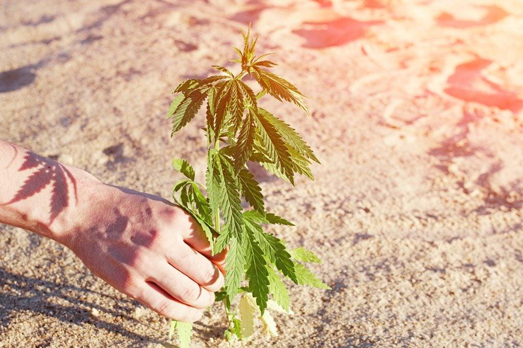 buy-marijuana-seeds-surrey