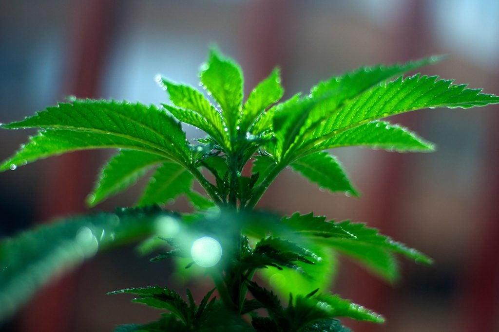 buy-marijuana-seeds-terrebonne
