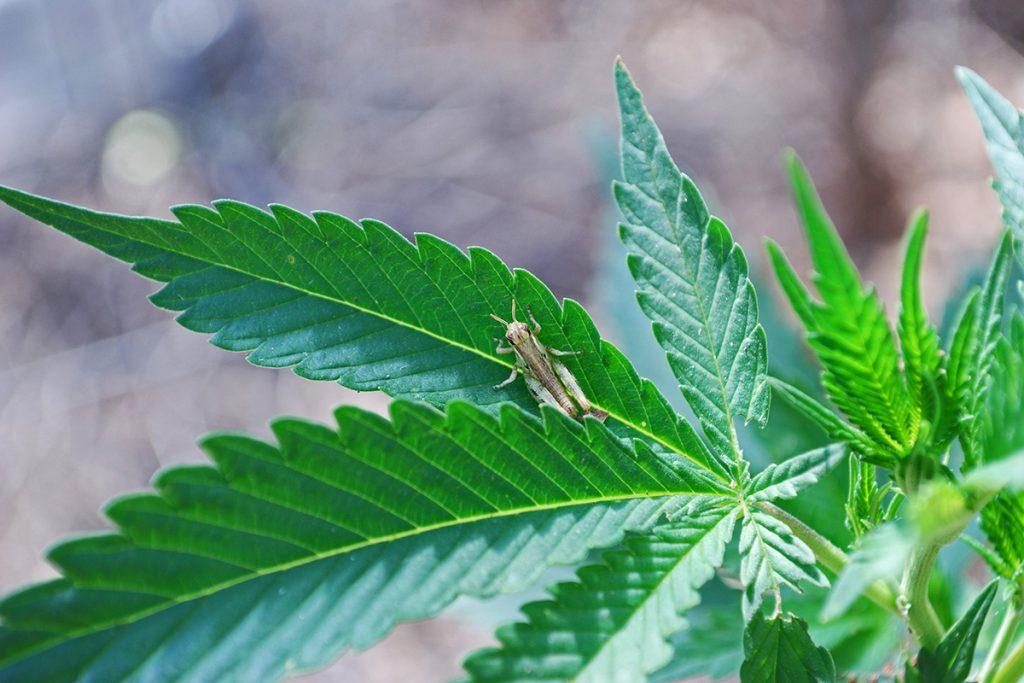 buy-marijuana-seeds-waterloo