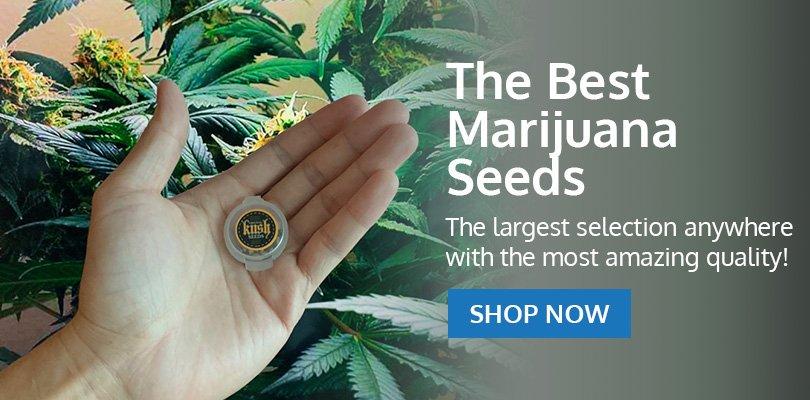 PSB-marijuana-seeds-kent-2