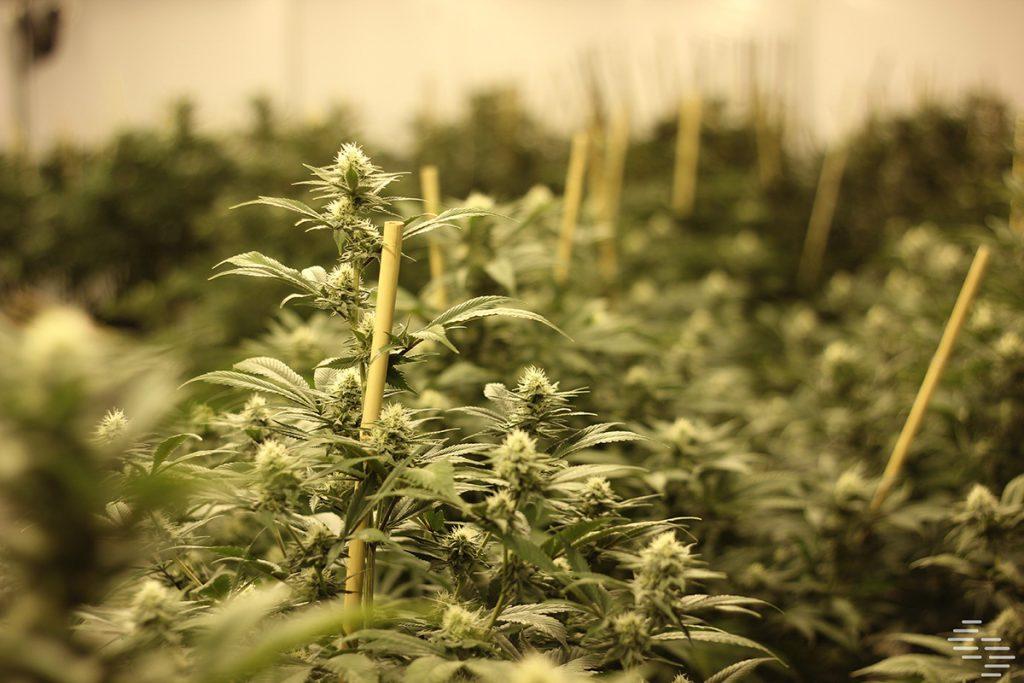 buy-marijuana-seeds-in-rock-springs