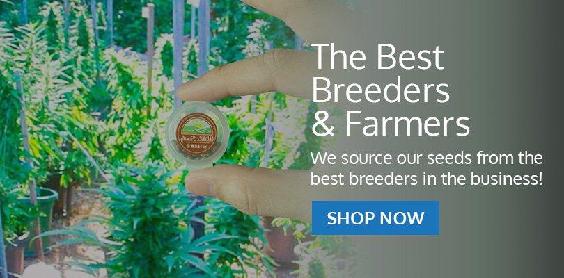 PSB-marijuana-seeds-avondale-1