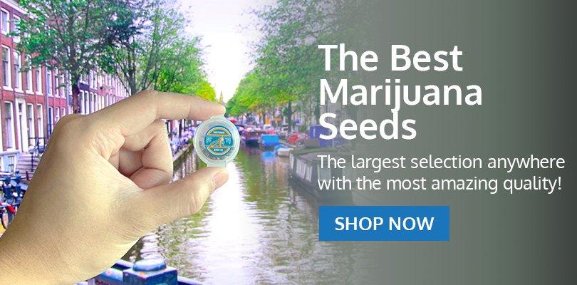 PSB-marijuana-seeds-avondale-2