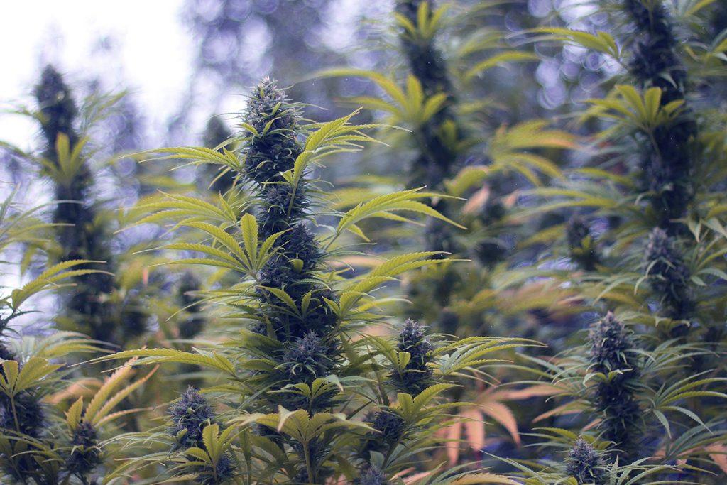 buy-cannabis-seeds-chula-vista