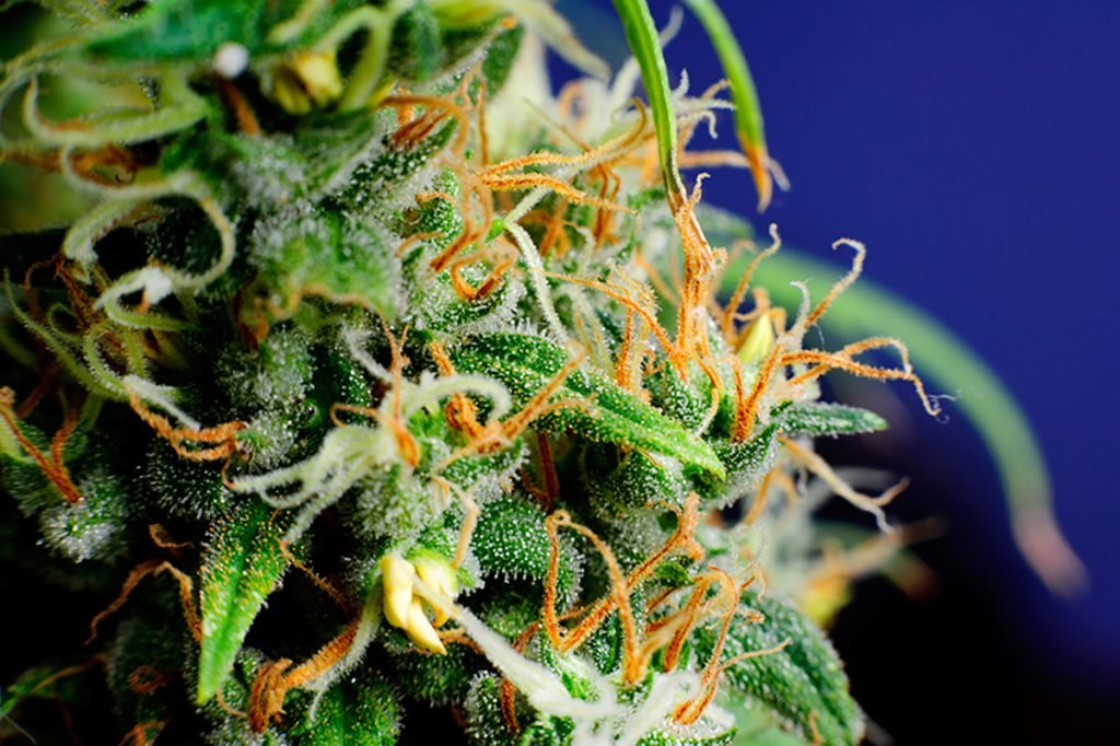buy-cannabis-seeds-hoover