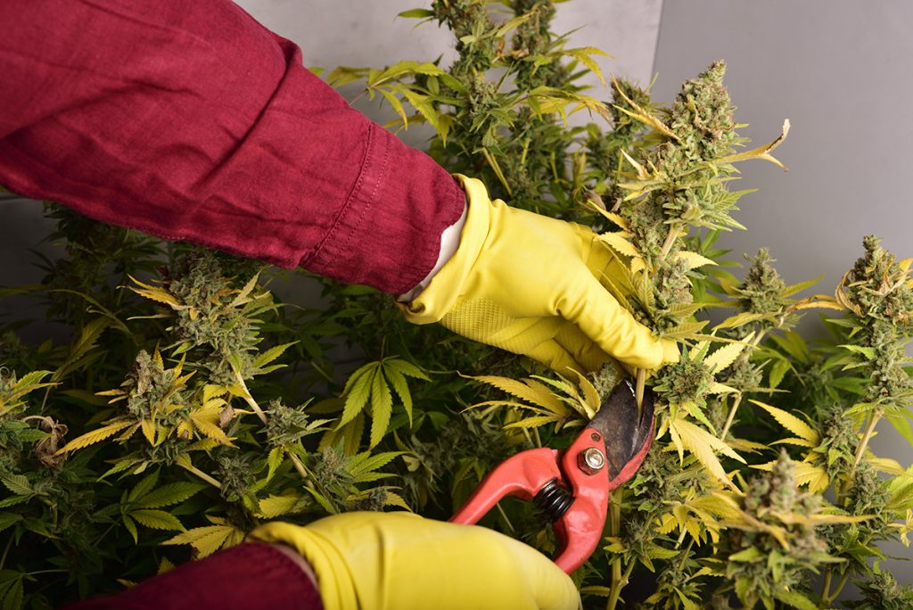 buy-marijuana-seeds-riverside