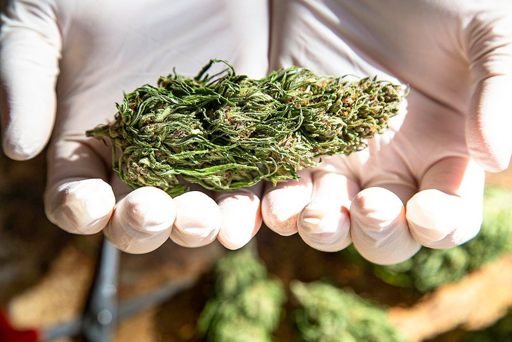 hands holding marijuana bud harvested