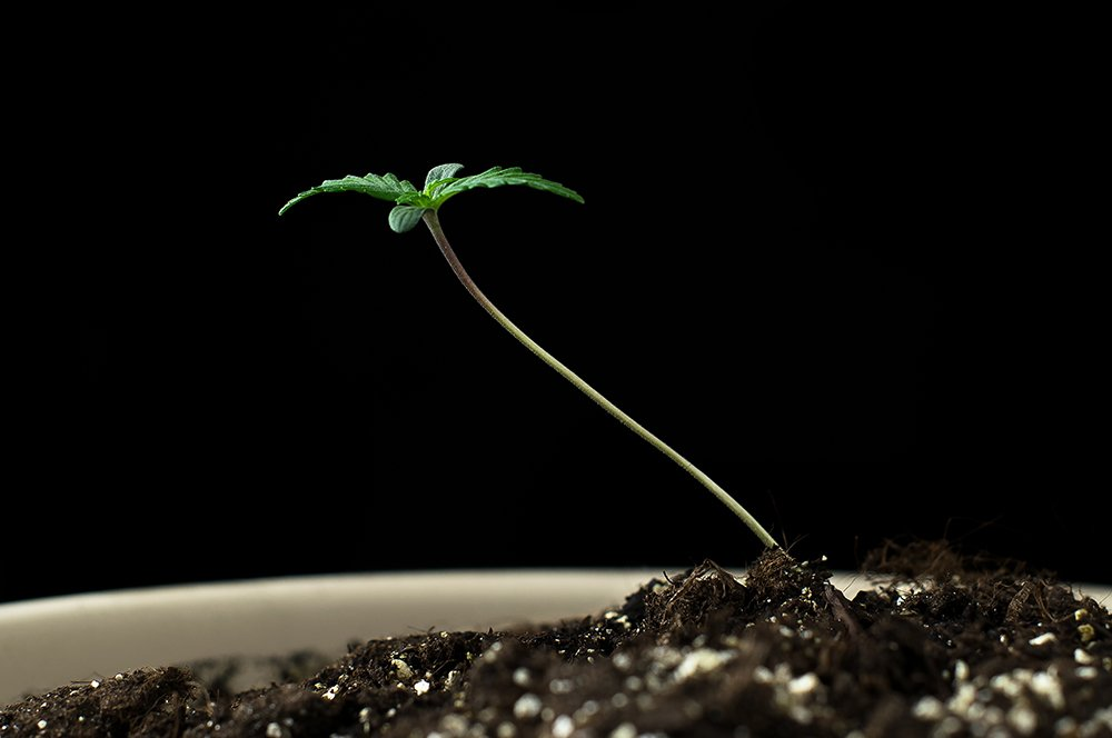 potted cannabis seedling