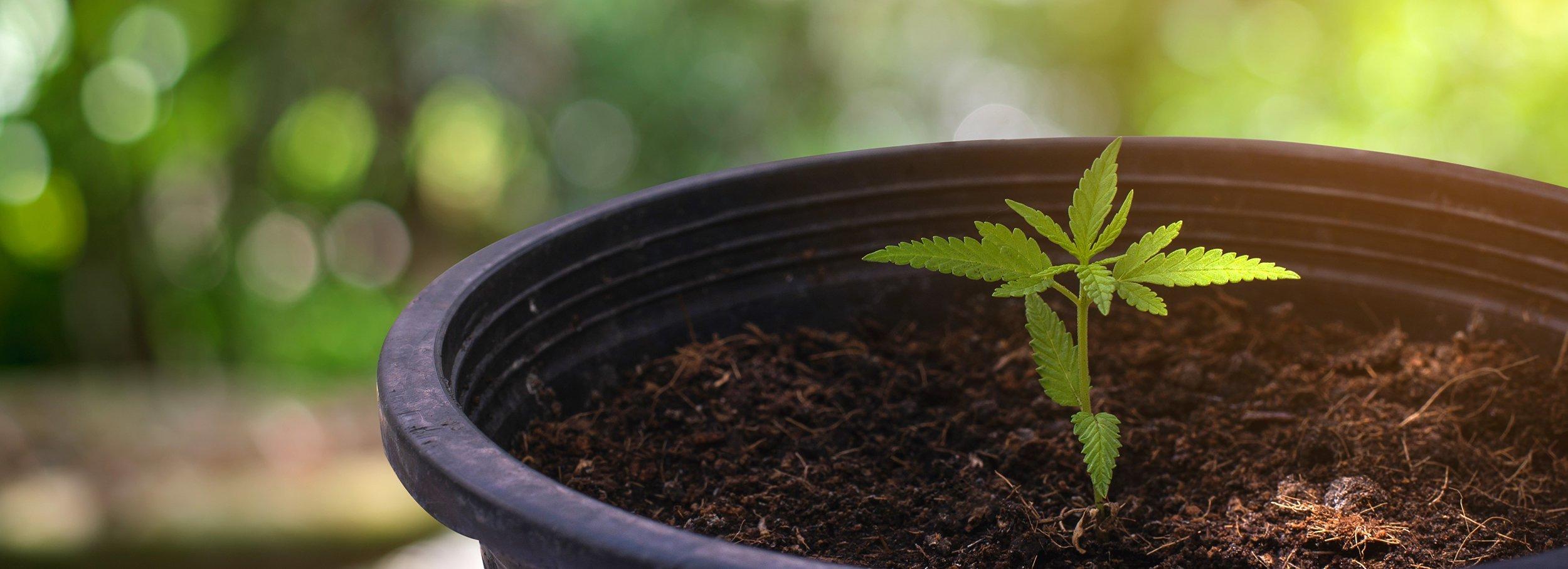marijuana seedling in pot