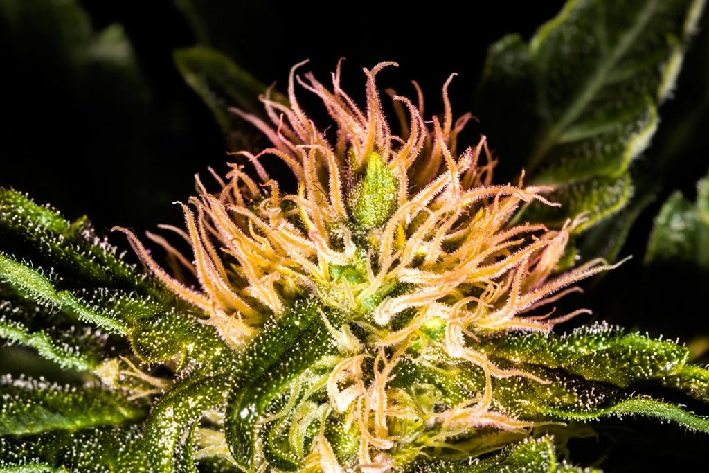 buy-cannabis-seeds-champaign