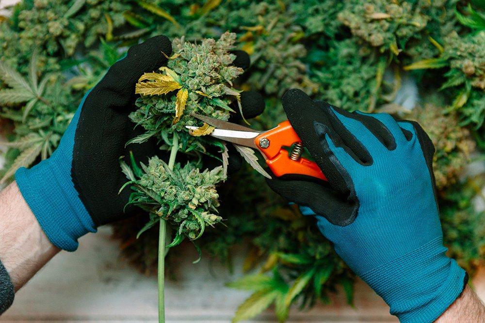 harvesting weed plant marijuana