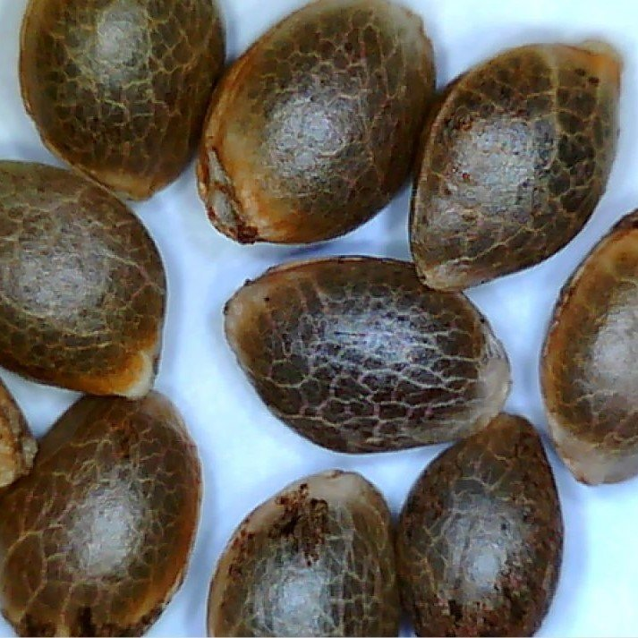 Jager AutoFlowering Feminized Marijuana Seeds - Pacific Seed Bank