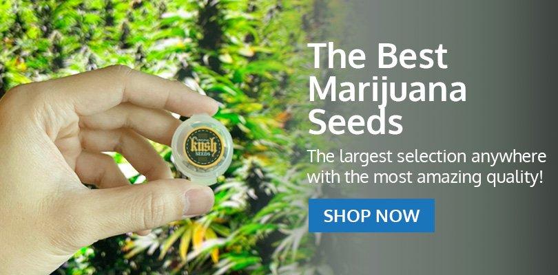 PSB-marijuana-seeds-springfield-1