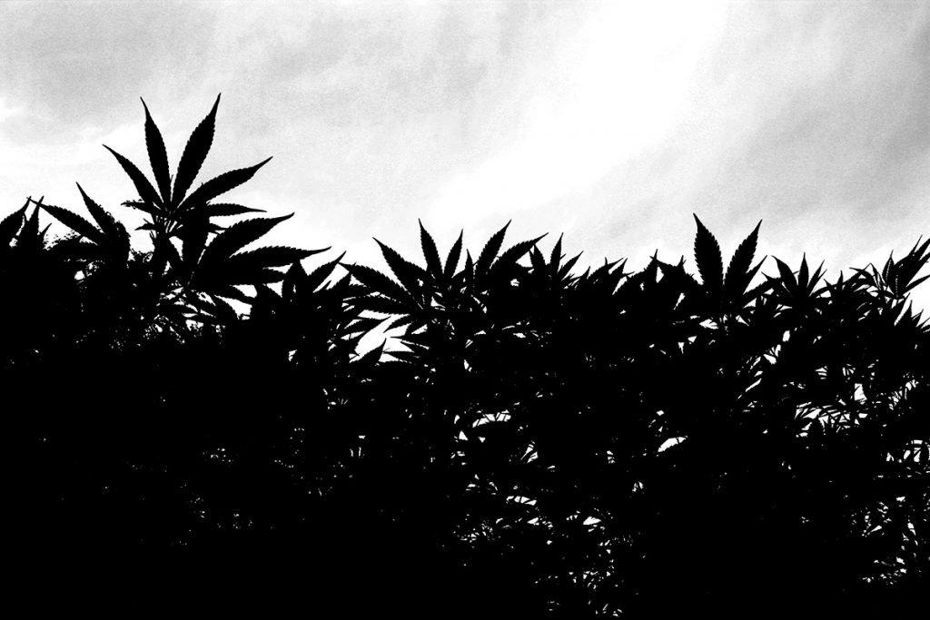 buy-marijuana-seeds-springfield