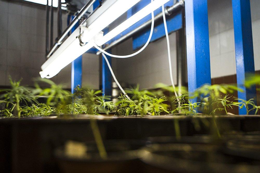 marijuana clones under lights