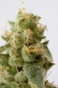 buds-growing-marijuana-wholesale-seeds