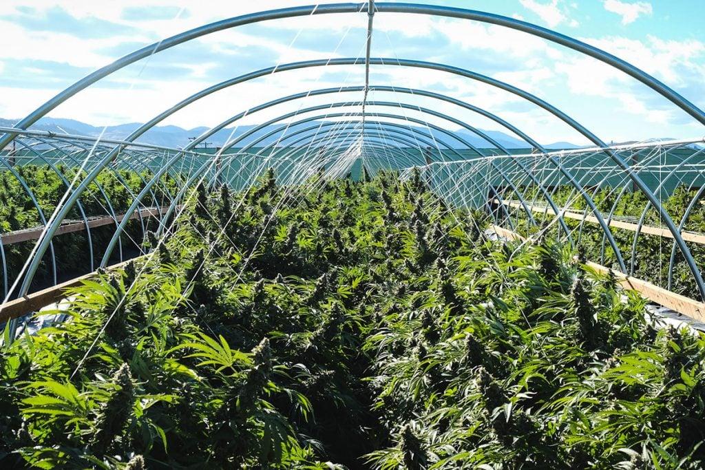 buy-marijuana-seeds-pasco