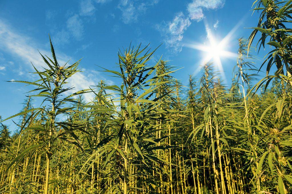 buy-marijuana-seeds-san-bernardino