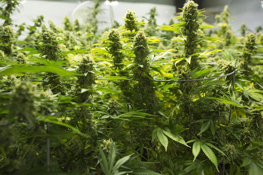 buy-marijuana-seeds-waltham
